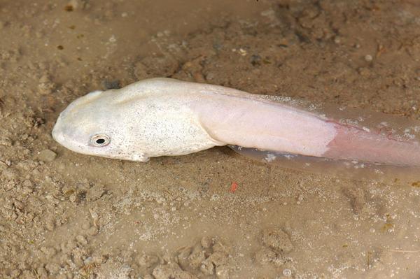 體態奇特的白化蝌蚪