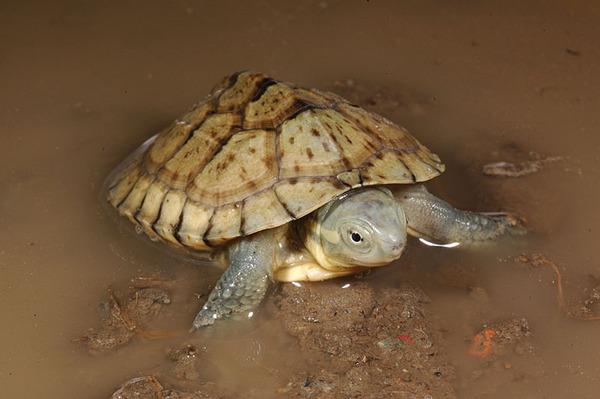 柴棺龜(Mauremys mutica mutica)