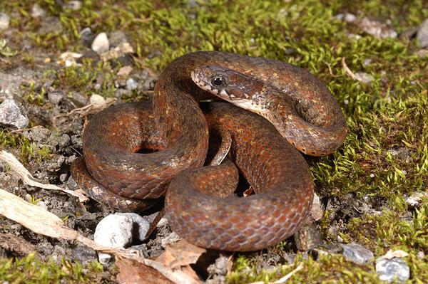 梭德氏游蛇(Amphiesma sauteri)