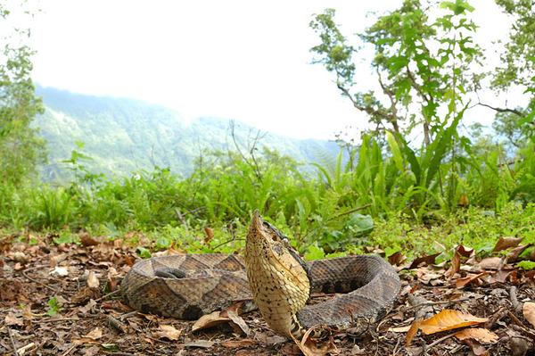白天遇見百步蛇!