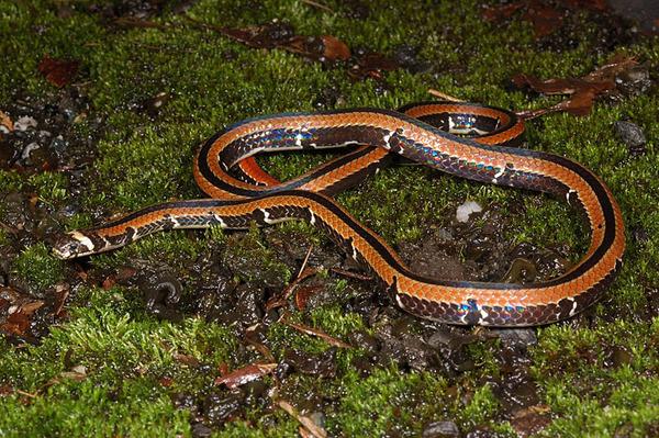 羽鳥氏帶紋赤蛇(Sinomicrurus hatori)