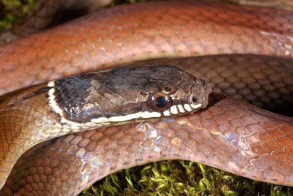 黑頭蛇(Sibynophis chinensis chinensis)