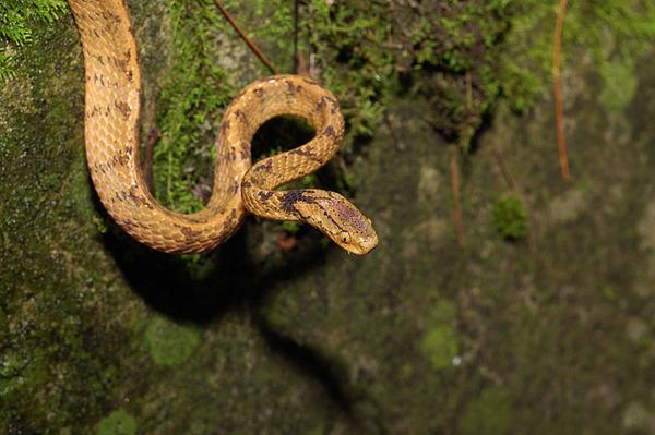 台灣鈍頭蛇(Pareas formosensis)