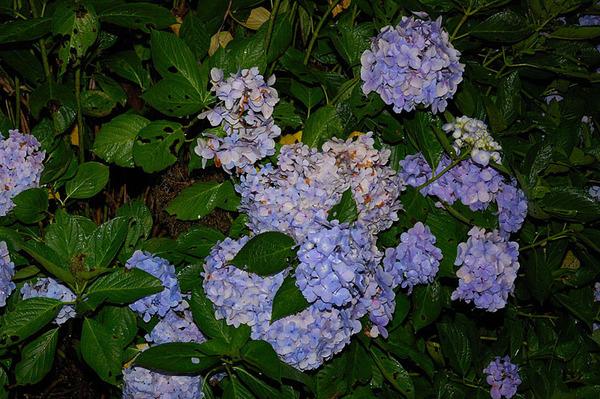 紫色繡球花