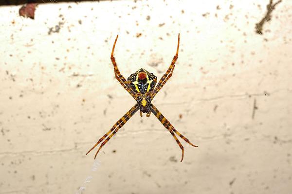 不知名的金蛛...