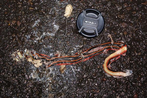 被輾爆的帶卵金絲蛇(Amphiesma miyajimae)