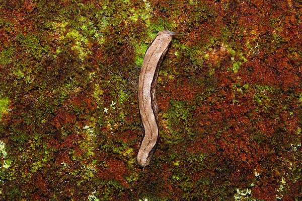 某種山蛞蝓