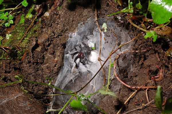 抱卵中的上戶蜘蛛