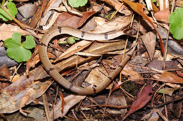 被曬死的赤腹松柏根(Oligodon ornatus)