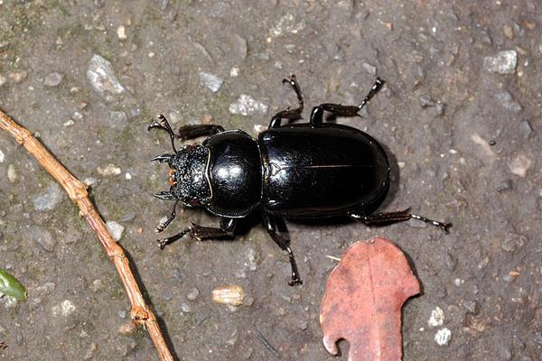 漆黑鹿角鍬形蟲雌蟲