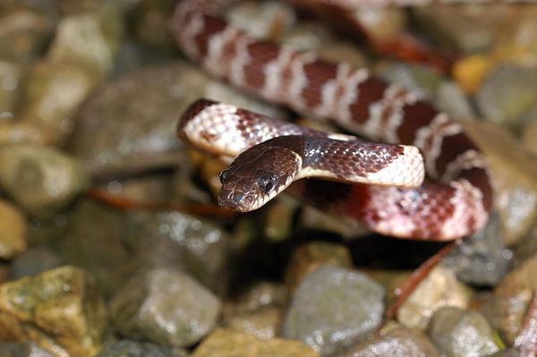 白梅花蛇(Lycodon ruhstrati ruhstrati)