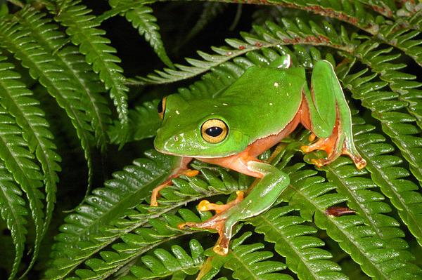 橙腹樹蛙(Rhacophorus aurantiventris)