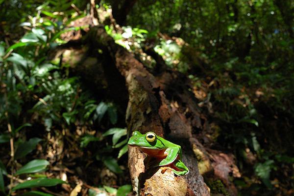 魚眼版的橙腹樹蛙