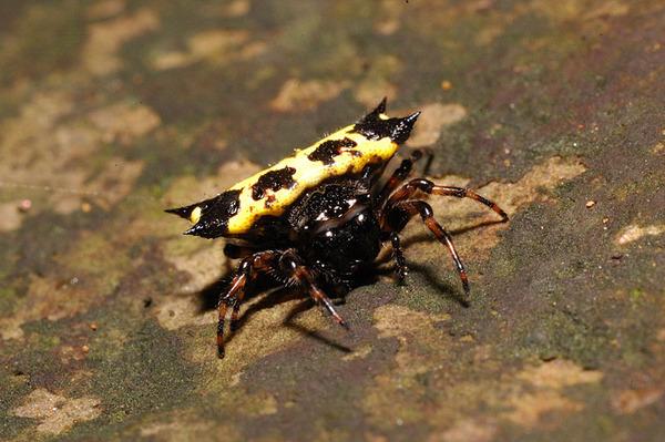 黃色型的古氏棘蛛