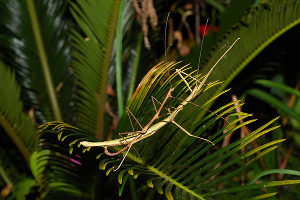 交配中的竹節蟲
