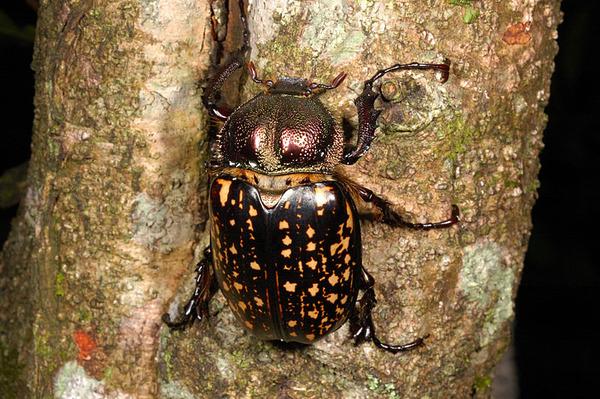 長臂金龜雌蟲