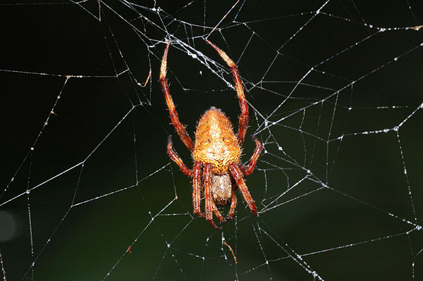 不知名的漂亮鬼蛛
