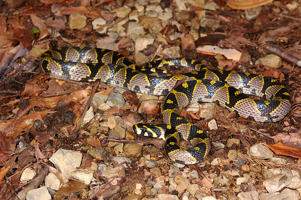 高砂蛇(Elaphe mandarinus)