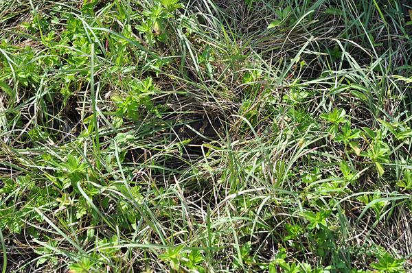 野放之後牠馬上就鑽進稻草堆裡了!!