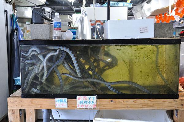 一整缸的闊帶青斑海蛇(Laticauda semifasciata)!!