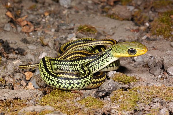 過山刀(Zaocys dhumnades oshimai)幼蛇