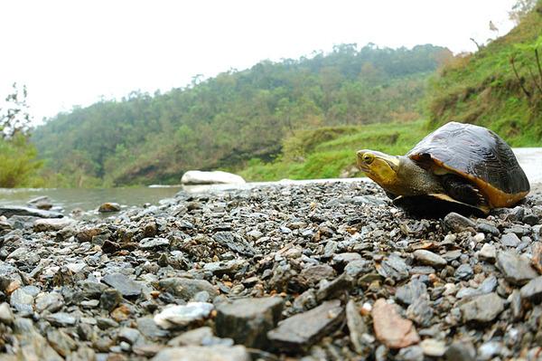 食蛇龜(Cistoclemmys flavomarginata flavomarginata)魚眼版