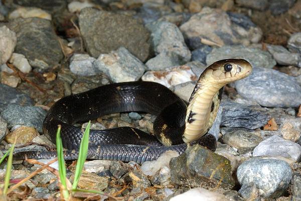 眼鏡蛇(Naja atra)