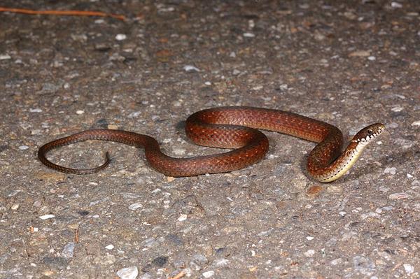 正要過馬路的梭德氏游蛇(Amphiesma sauteri sauteri)