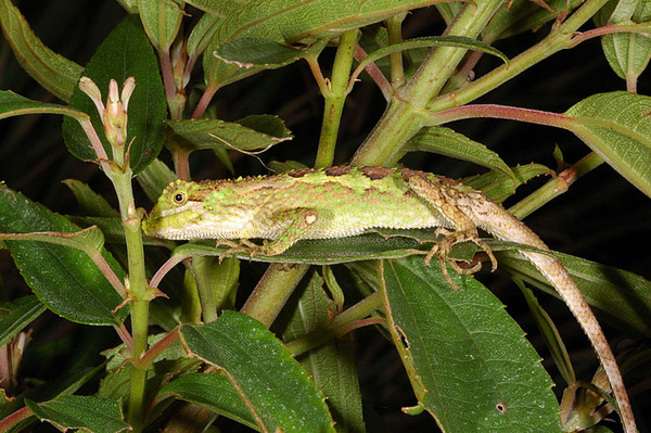 睡覺中被吵醒的黃口攀蜥(Japalura polygonata xantbostoma)