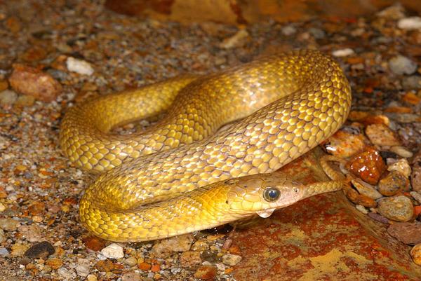 黃化的草花蛇(Xenochrophis piscator)