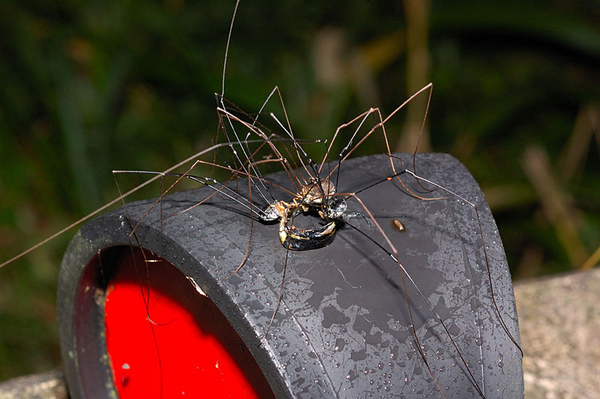 三隻盲蛛在吃ㄧ節應該是蟬的殘骸...