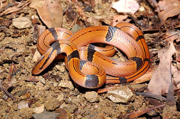 紅竹蛇(Elaphe porphyracea nigrofasciata)幼蛇