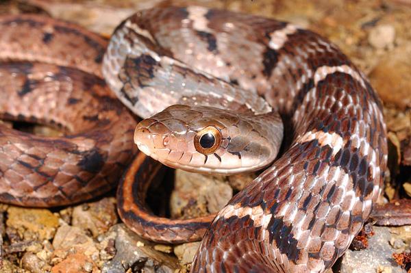 史丹吉氏斜鱗蛇(Pseudoxenodon stejnegeri stejnegeri)灰色型