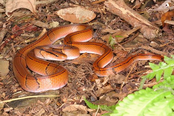 紅竹蛇(Elaphe porphyracea nigrofasciata)