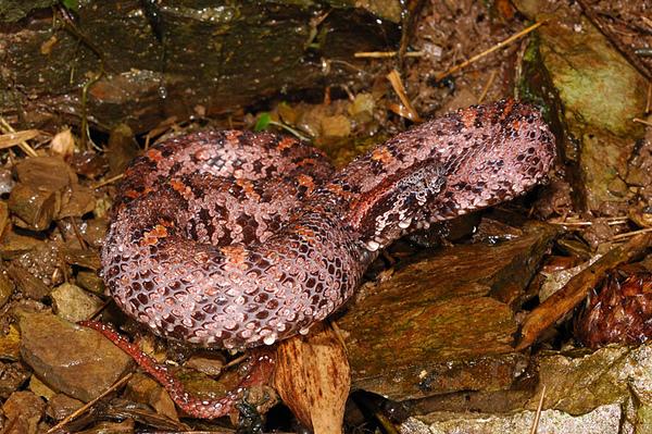 阿里山龜殼花(Ovophis monticola)