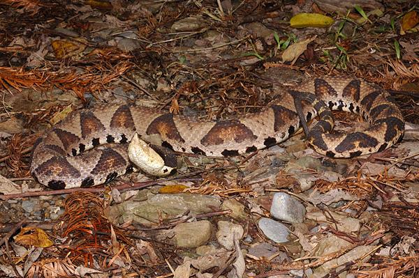 百步蛇(Deinagkistrodon acutus)