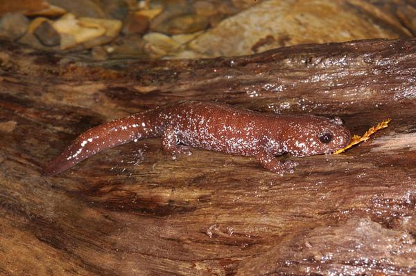 在溪邊石頭上的山椒魚