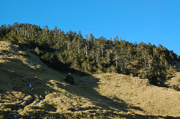 山坡上的針葉林