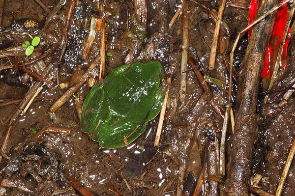 找山椒魚時後順便找到的莫氏樹蛙(Rhacophorus moltrechti)