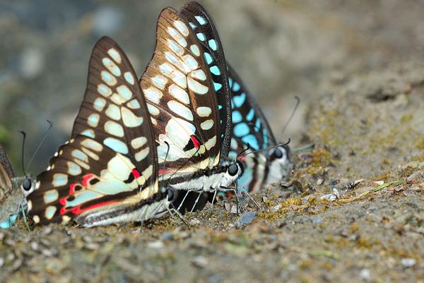 幾隻青斑鳳蝶