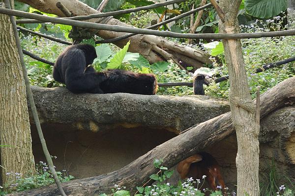 動物園的長臂猿和牠們的小寶寶