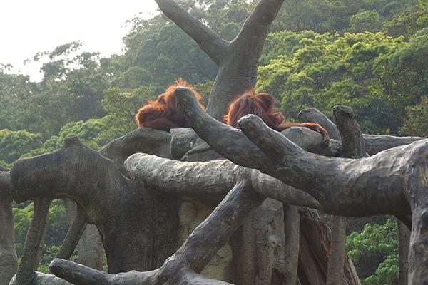 逆光的紅毛猩猩
