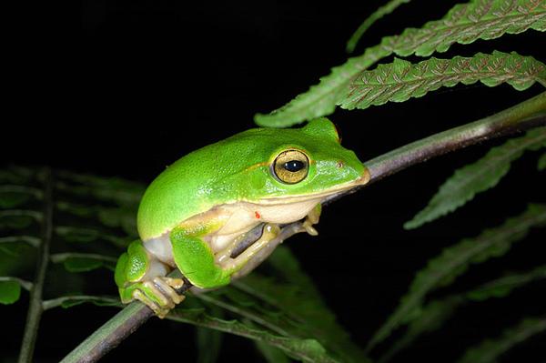 翡翠樹蛙(Rhacophorus smaragdinus)