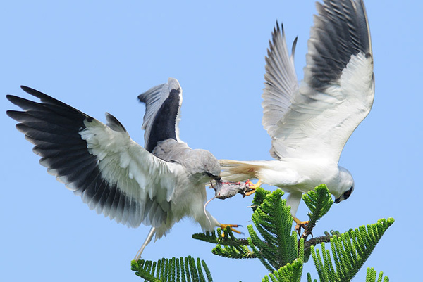 雌鳥用嘴巴將雄鳥帶回的老鼠交接走