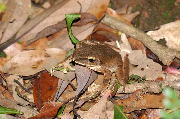 布氏樹蛙(Polypedates braueri)