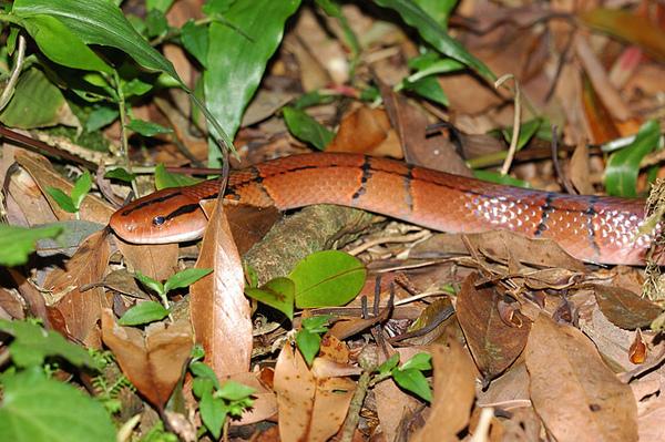 步道邊遇到的紅竹蛇(Elaphe porphyracea nigrofasciate)