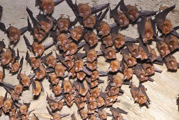 洞口附近有一群台灣葉鼻蝠