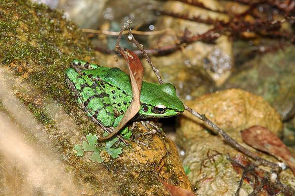 綠到不像話的斯文豪氏赤蛙(Rana swinhoana)