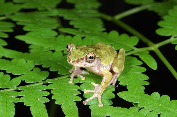 艾氏樹蛙(Kurixalus eiffingeri)