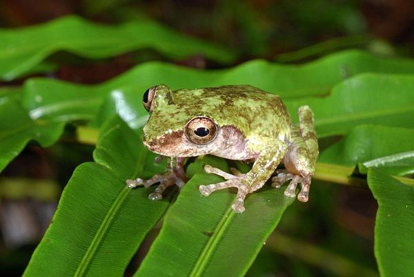 第三隻艾氏樹蛙...